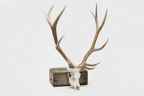 Whitelake Elk Antlers featured image